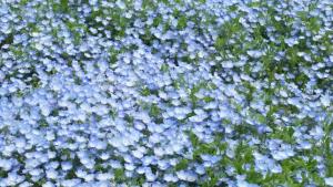 花じゅうたん